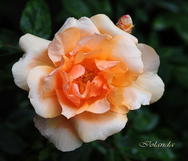 Algunas rosas de mi jarín :) - Página 3 DSC_8400rec