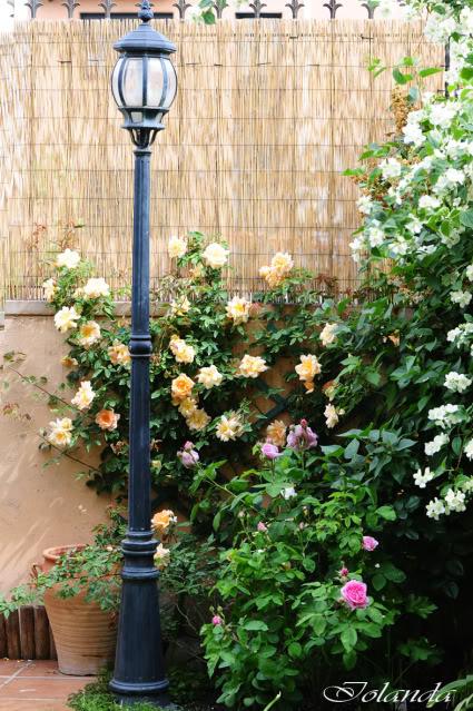 Algunas rosas de mi jarín :) - Página 3 DSC_8410rec