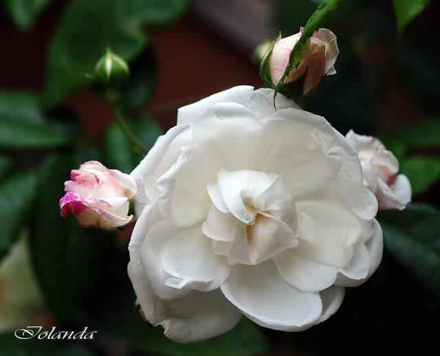 Algunas rosas de mi jarín :) - Página 3 DSC_8420rec-1