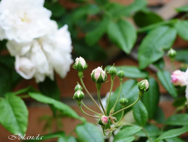 Algunas rosas de mi jarín :) - Página 3 DSC_8426rec