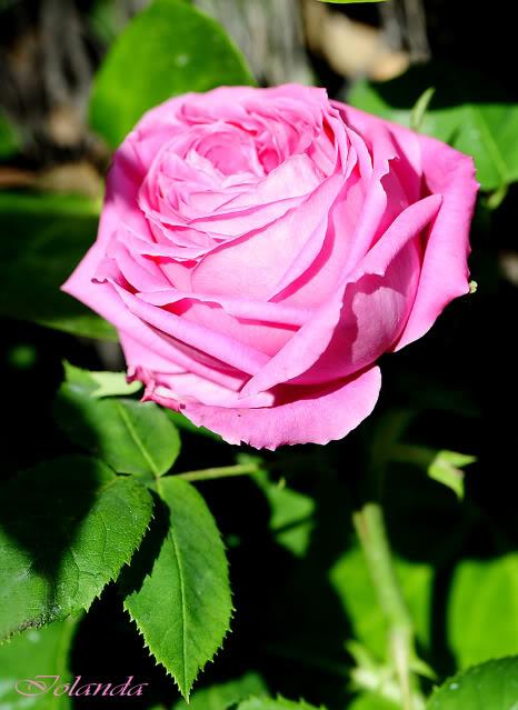 Algunas rosas de mi jarín :) - Página 3 DSC_8434rec