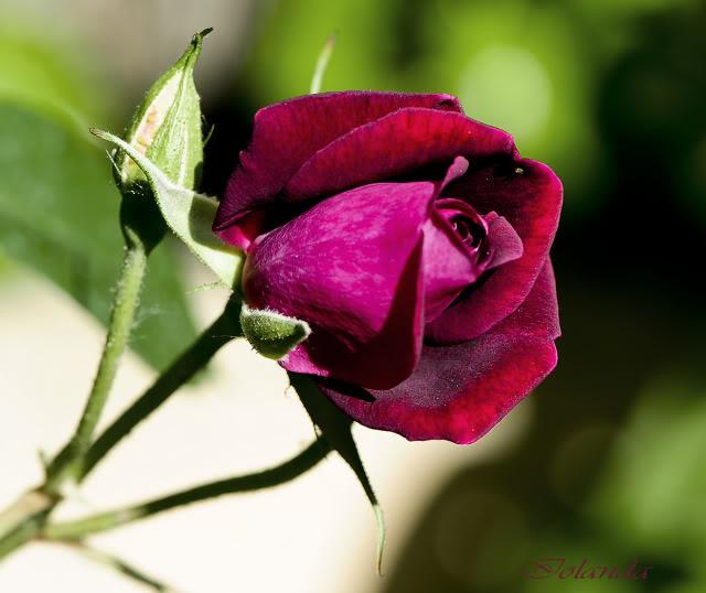 Algunas rosas de mi jarín :) - Página 3 DSC_8439rec