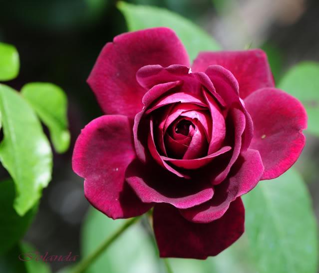Algunas rosas de mi jarín :) - Página 3 DSC_8454rec