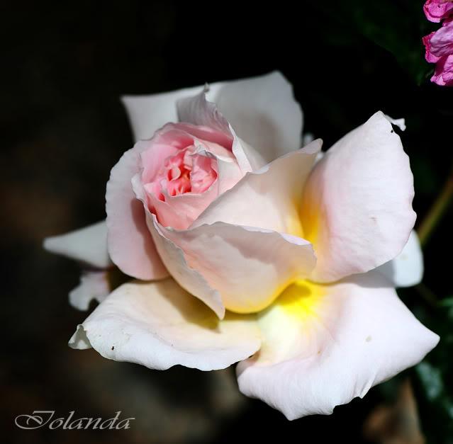 Algunas rosas de mi jarín :) - Página 2 DSC_8456rec