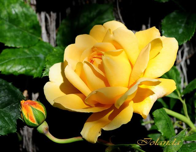 Algunas rosas de mi jarín :) - Página 4 DSC_8474rec