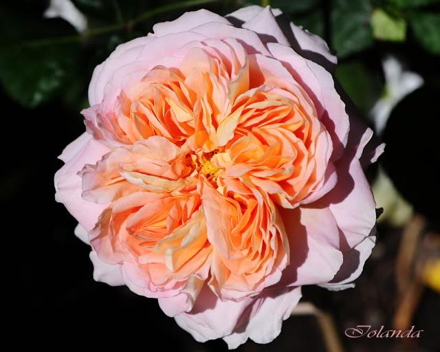 Algunas rosas de mi jarín :) - Página 2 DSC_8521rec