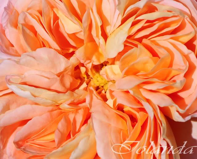 Algunas rosas de mi jarín :) - Página 2 DSC_8521recrec
