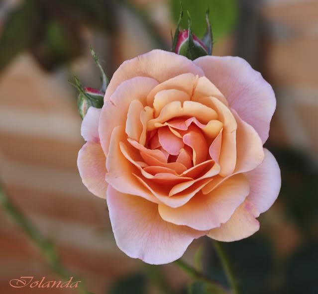 Algunas rosas de mi jarín :) - Página 3 DSC_8544rec