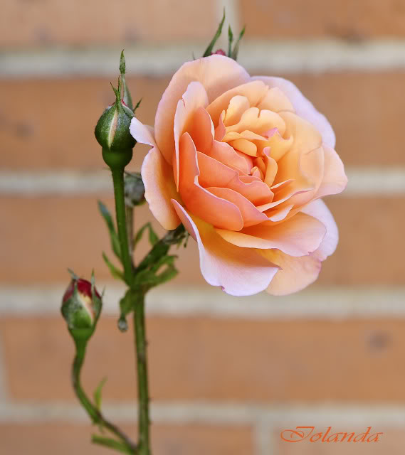 Algunas rosas de mi jarín :) - Página 3 DSC_8545rec