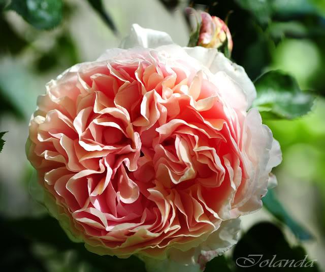 Algunas rosas de mi jarín :) - Página 2 DSC_8561rec