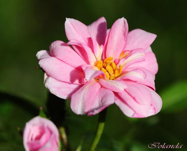Algunas rosas de mi jarín :) - Página 3 DSC_8716rec