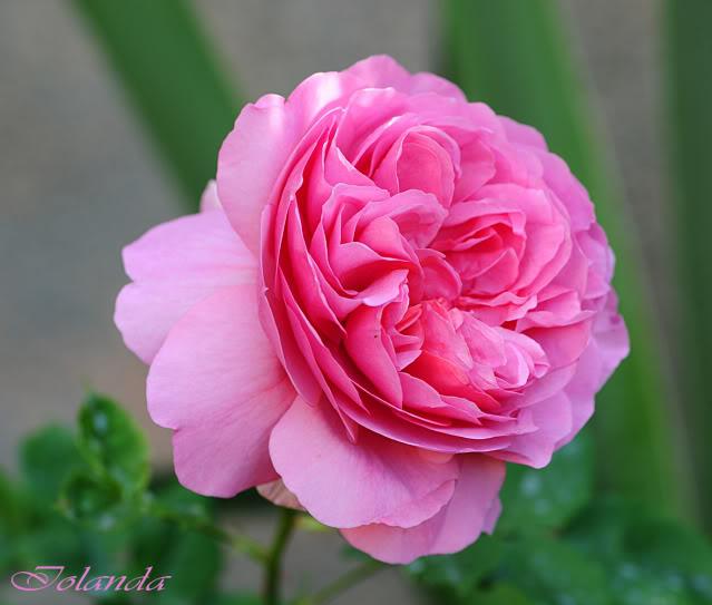 Algunas rosas de mi jarín :) - Página 4 DSC_8731rec