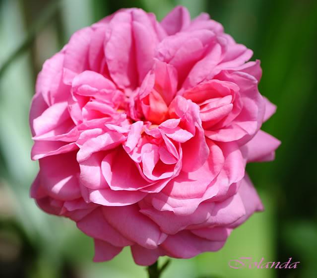 Algunas rosas de mi jarín :) - Página 4 DSC_8739rec