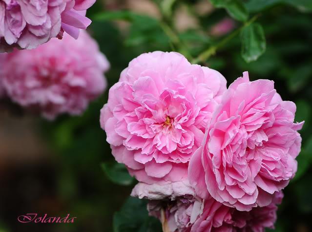 Algunas rosas de mi jarín :) - Página 4 DSC_8895rec
