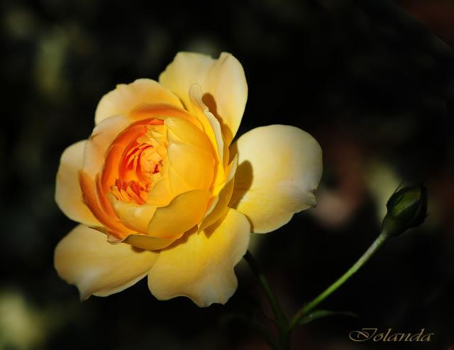 Algunas rosas de mi jarín :) - Página 4 DSC_8897rec