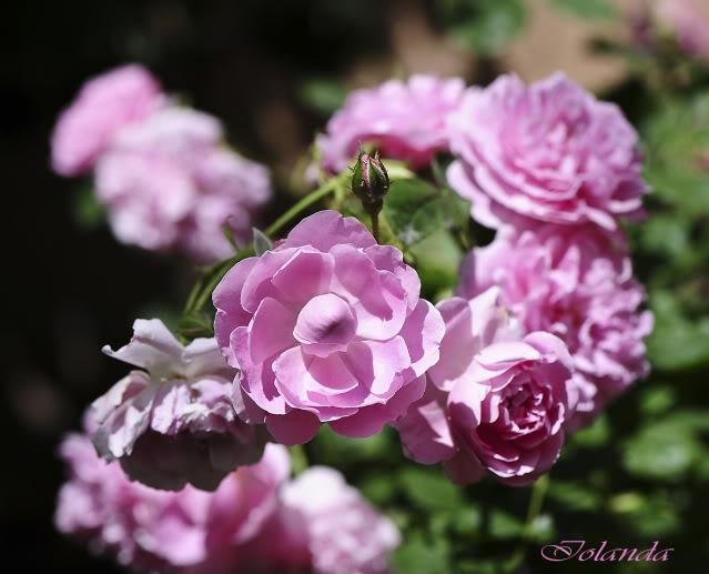 Algunas rosas de mi jarín :) - Página 4 DSC_8909rec