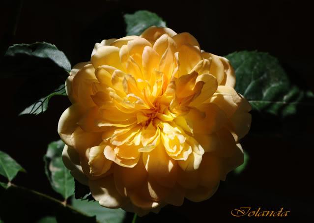 Algunas rosas de mi jarín :) - Página 4 DSC_9079rec