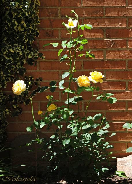 Algunas rosas de mi jarín :) - Página 4 DSC_9082rec