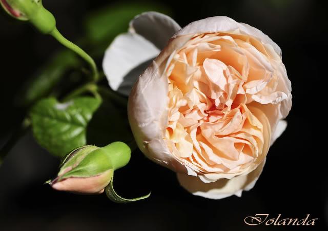 Algunas rosas de mi jarín :) - Página 4 DSC_9097rec