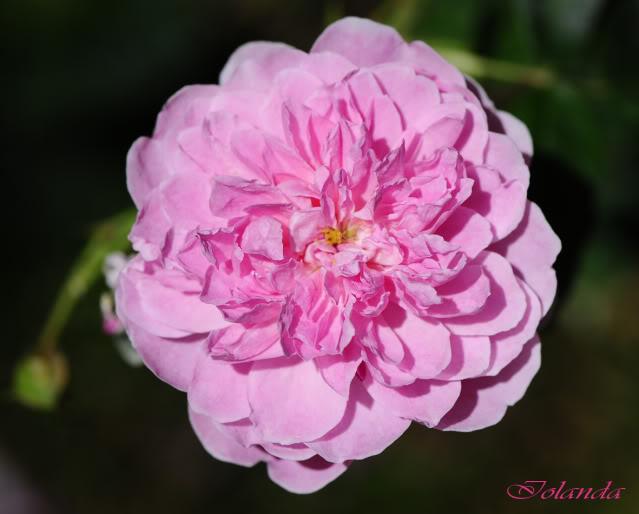 Algunas rosas de mi jarín :) - Página 4 DSC_9131reccopia