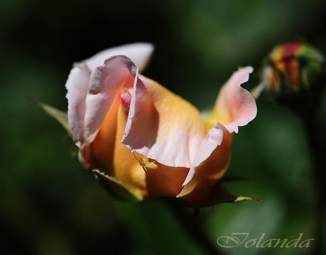 Algunas rosas de mi jarín :) - Página 2 DSC_9132rec