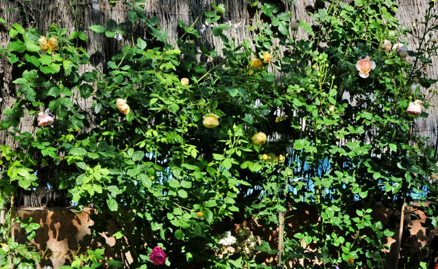 Algunas rosas de mi jarín :) - Página 4 DSC_9300rec