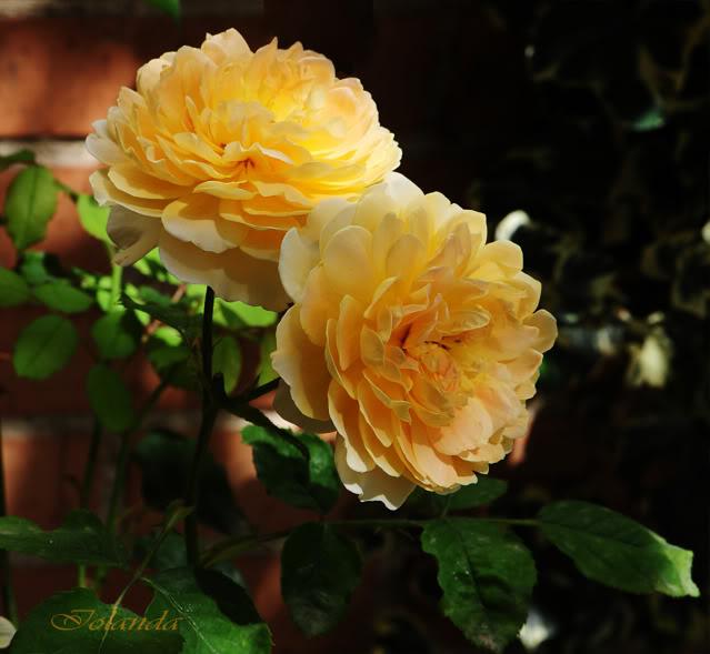 Algunas rosas de mi jarín :) - Página 4 DSC_9318rec