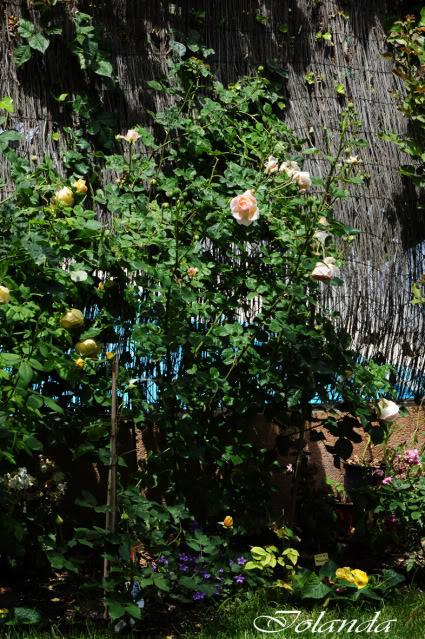 Algunas rosas de mi jarín :) - Página 2 DSC_9321rec