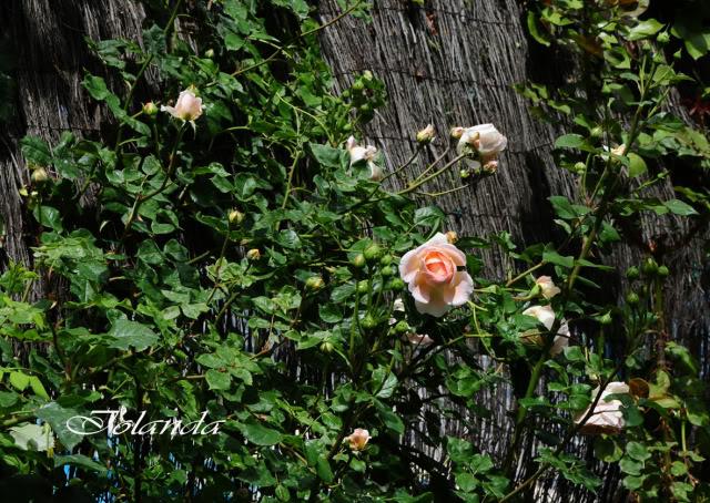 Algunas rosas de mi jarín :) - Página 2 DSC_9322rec