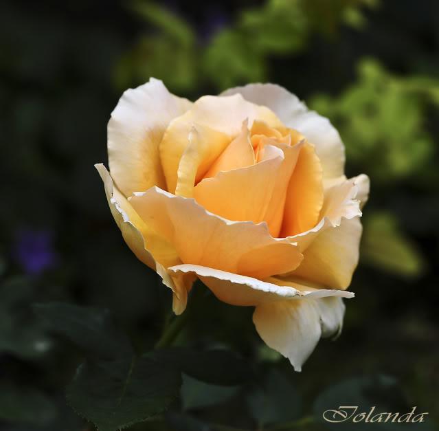 Algunas rosas de mi jarín :) - Página 3 DSC_9441rec