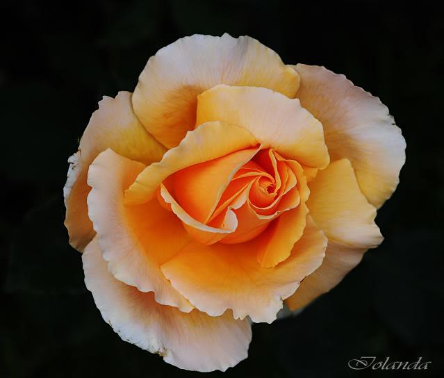 Algunas rosas de mi jarín :) - Página 3 DSC_9449rec
