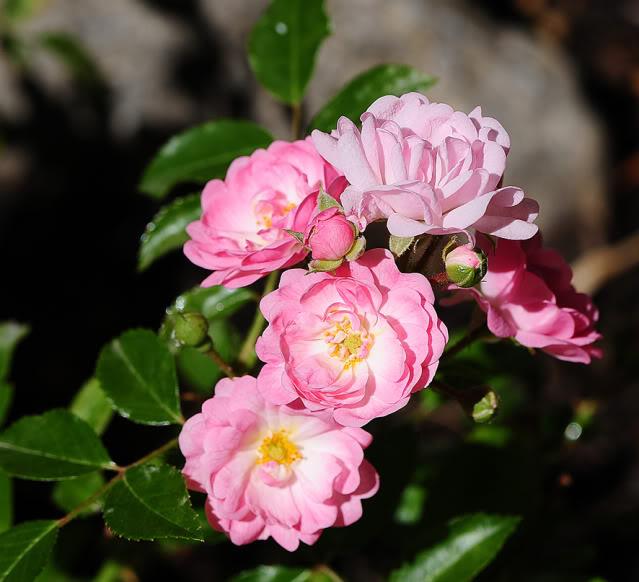 Algunas rosas de mi jarín :) DSC_9455recrec