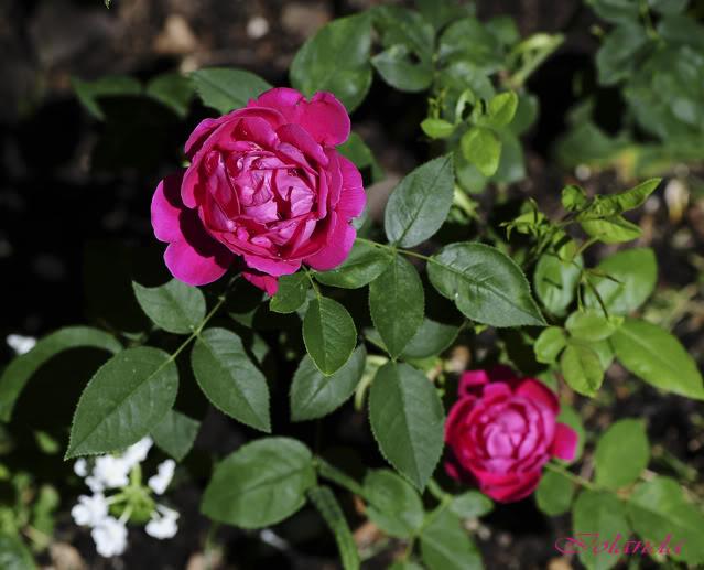 Algunas rosas de mi jarín :) - Página 3 DSC_9749rec
