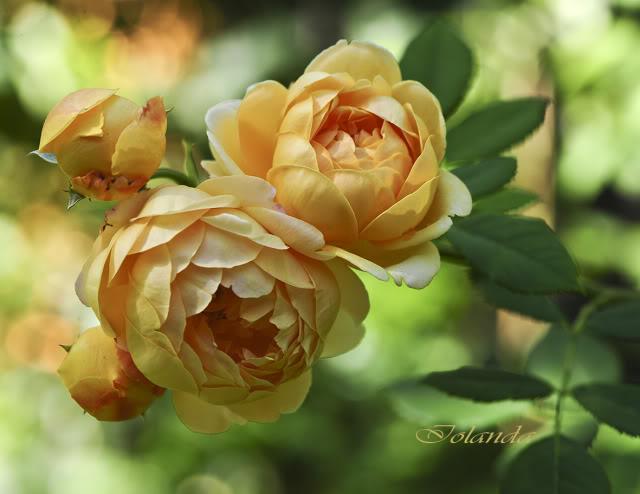 Algunas rosas de mi jarín :) - Página 4 DSC_9786rec
