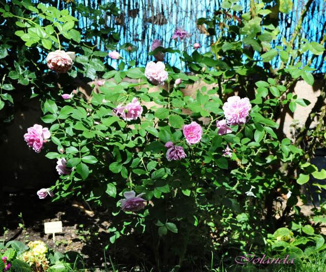 Algunas rosas de mi jarín :) - Página 4 DSC_9934rec