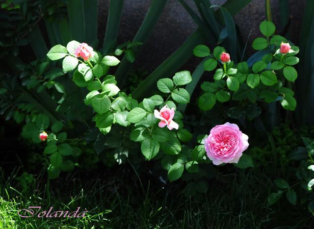 Algunas rosas de mi jarín :) - Página 4 DSC_9956rec
