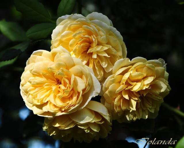 Algunas rosas de mi jarín :) - Página 4 _DSC1034rec