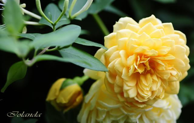 Algunas rosas de mi jarín :) - Página 4 _DSC1609rec