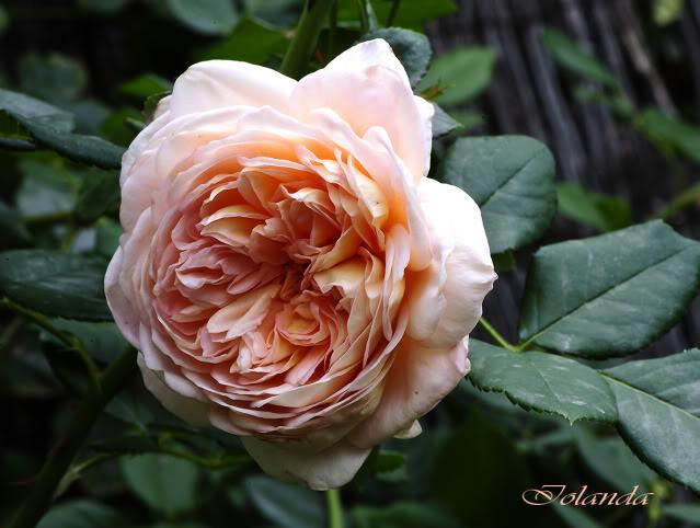 Algunas rosas de mi jarín :) - Página 4 _DSC1727rec