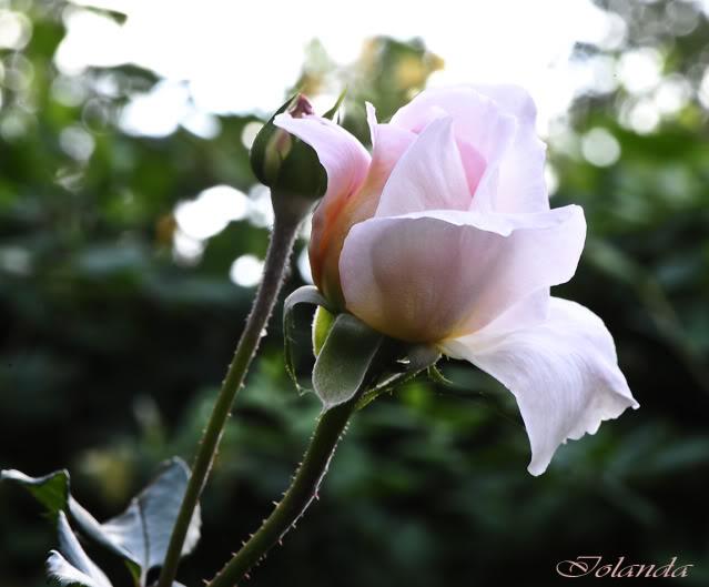 Algunas rosas de mi jarín :) - Página 4 _DSC1729rec