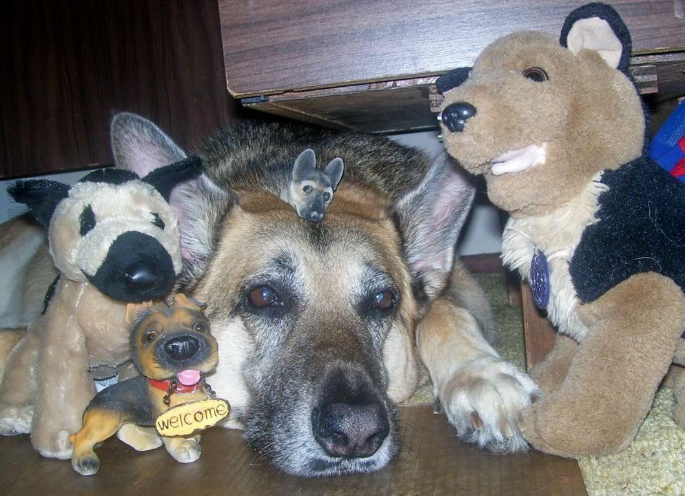 German Shepherd, Cookie