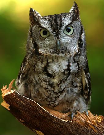 Buzón de Lily Zwingli Owl20screech-1