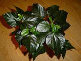 Hibiscus rosa sinensis Th_DSC00219