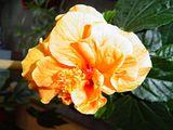 Hibiscus rosa sinensis Th_DSC00281