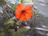 Hibiscus rosa sinensis Th_SP_A0023