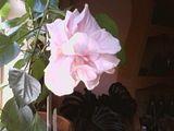 Hibiscus rosa sinensis Th_SP_A0038