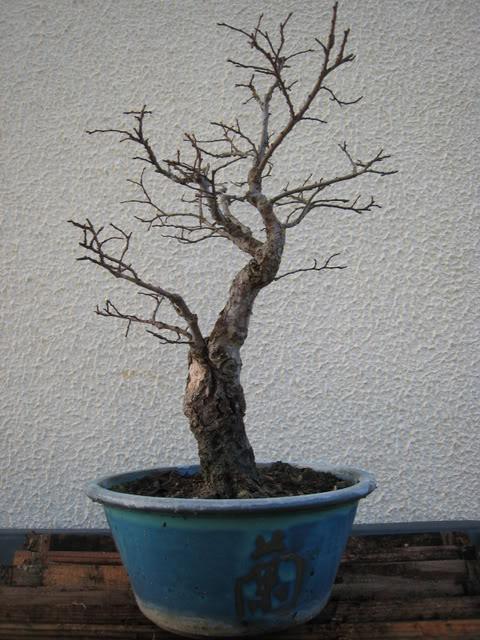 Zelcova Japanese Elm - Showing off a little 2_Janeiro2009_B