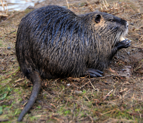 The MB Spirit Animal Guide Nutria