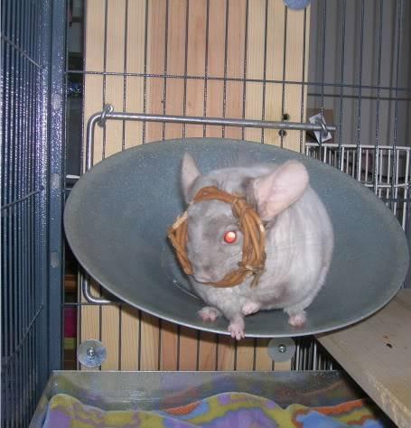 My chinchillas Fuzzy2153