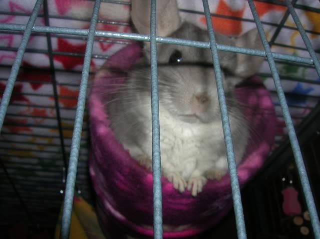 My chinchillas Fuzzy2046